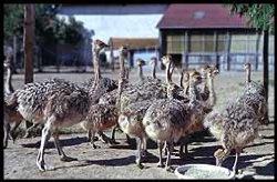 Les autruches de Sardieu (à 6km)